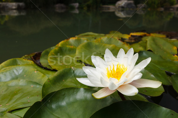White water plant in a pond Stock photo © mrakor