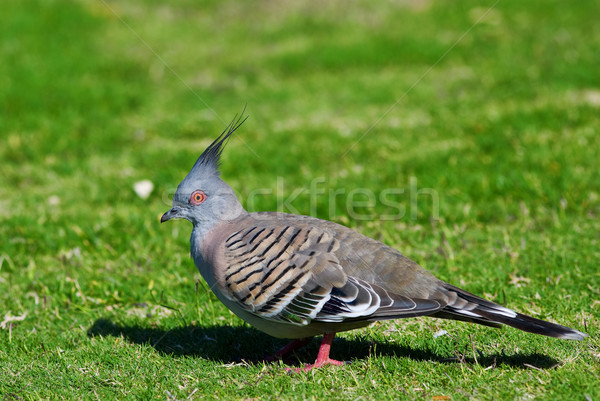 Crested Pigeon (Ocyphaps Iophotes) - Australian Bird Stock photo © mroz