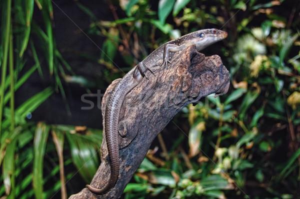 ящерицы геккон высушите зеленые листья дерево природы Сток-фото © mroz