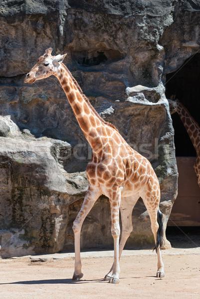 Giraffe dierentuin Sydney natuur afrikaanse safari Stockfoto © mroz