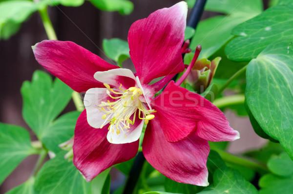 красный красивой Focus расплывчатый зеленый цветок Сток-фото © mroz