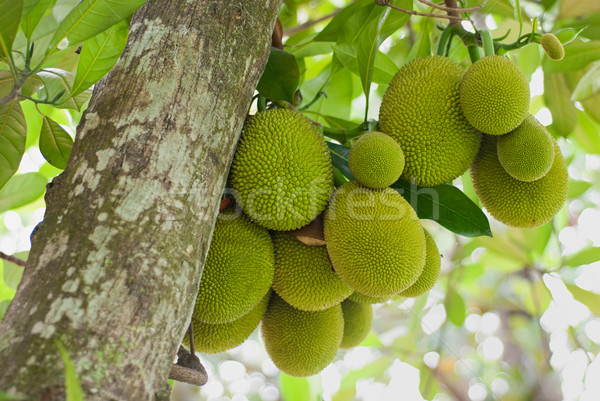 Jack Fruits Stock photo © mroz
