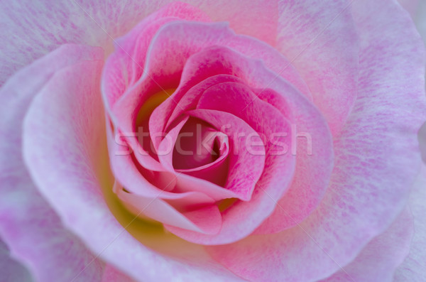 Pink Rose Close-up / Macro Stock photo © mroz