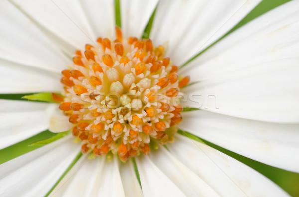 белый африканских Daisy цветок природы саду Сток-фото © mroz