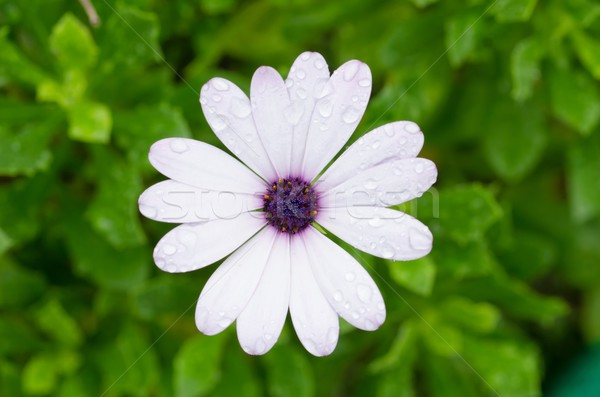 White Osteospermum African Daisy Stock photo © mroz