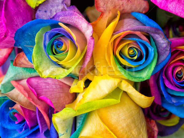 Rainbow roses close-up Stock photo © mroz