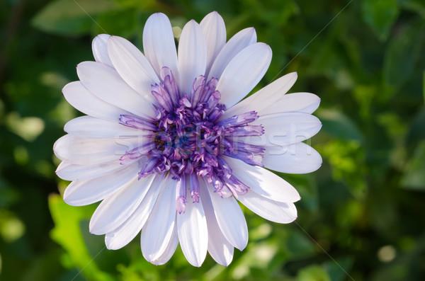 Africano margarida 3D flor natureza jardim Foto stock © mroz