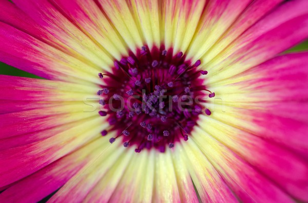 Chrysanthemum / Mini Daisy Stock photo © mroz