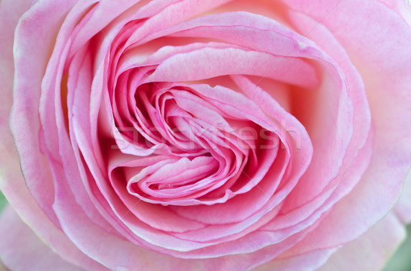 Heart-shaped Pink Rose Close-up / Macro Stock photo © mroz