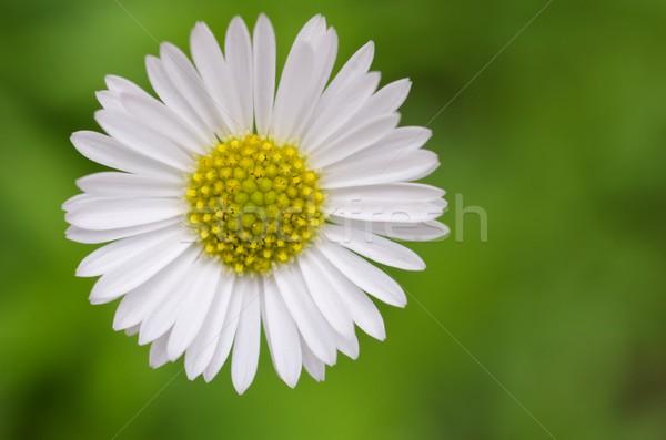 африканских Daisy цветок природы саду завода Сток-фото © mroz