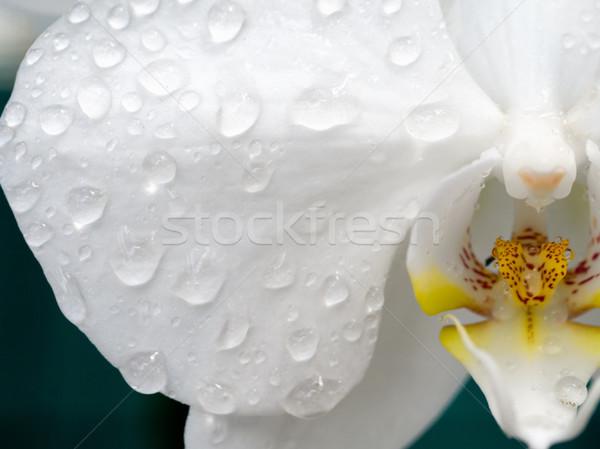 Orkide beyaz çiçek doğa hediye güzel Stok fotoğraf © mroz