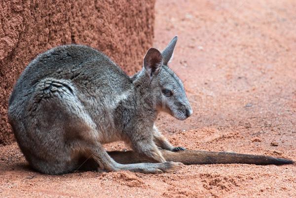 Ausztrál kenguru Ausztrália ikonikus állat barna Stock fotó © mroz