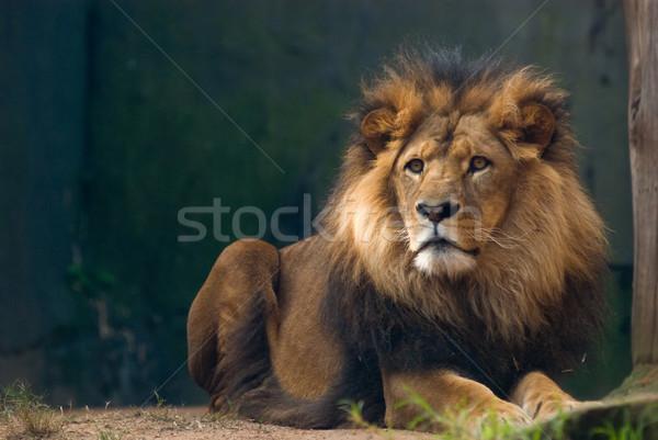 Portre aslan kral Afrika güç Stok fotoğraf © mroz