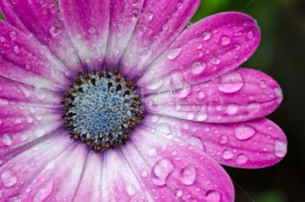 африканских Daisy цветок природы саду шаблон Сток-фото © mroz