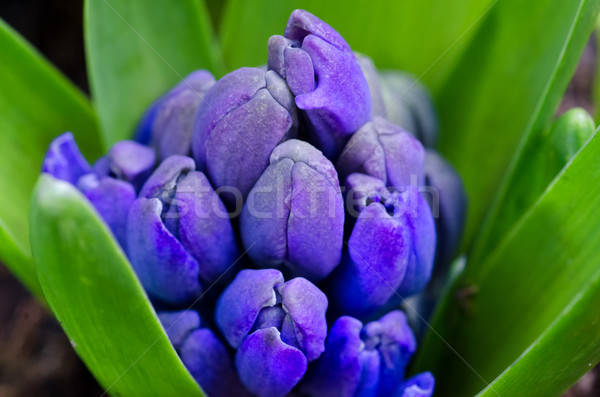 Blue Hyacinth Bud Close-up Stock photo © mroz