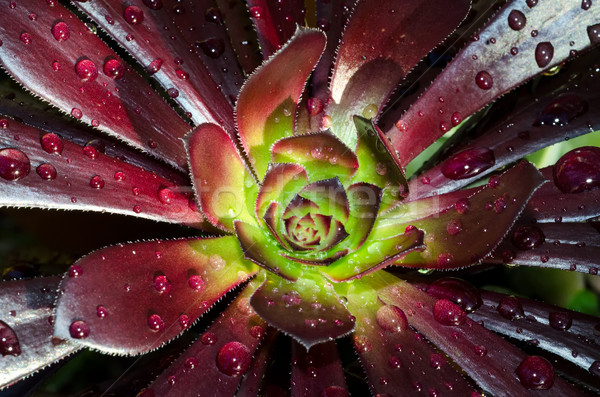 Waterdrops on a succulent Stock photo © mroz