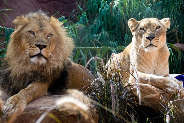 лев пару африканских царя власти Сток-фото © mroz