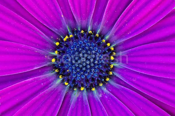 深い 紫色 アフリカ デイジーチェーン 花 自然 ストックフォト © mroz