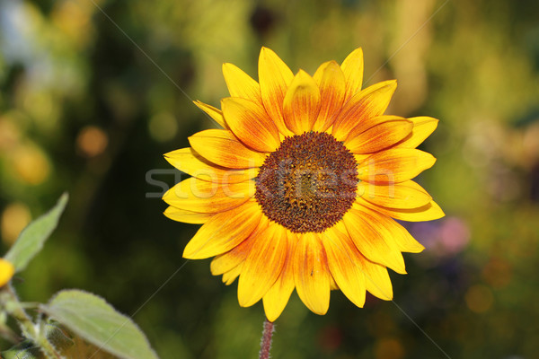 sunflower Stock photo © mtmmarek