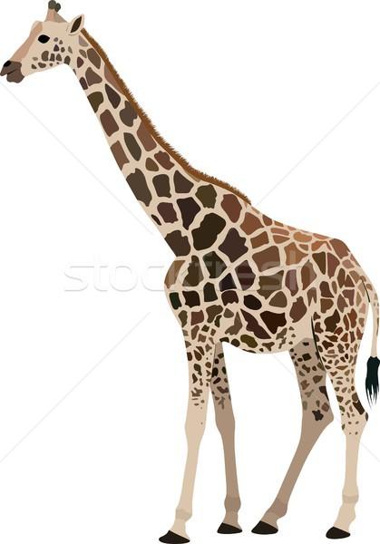 Girafe isolé graphique Photo stock © mtmmarek