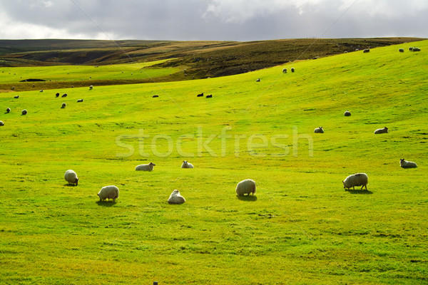 Stock photo: Meadow with flock of sheeps