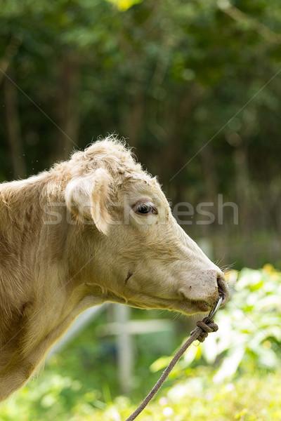 Calf,pet Stock photo © muang_satun