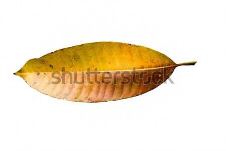 Mango leaf brown and yellow. Stock photo © muang_satun