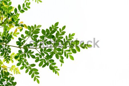 green leaves  Stock photo © muang_satun