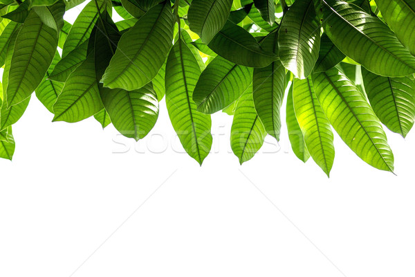 Mango leaves Stock photo © muang_satun