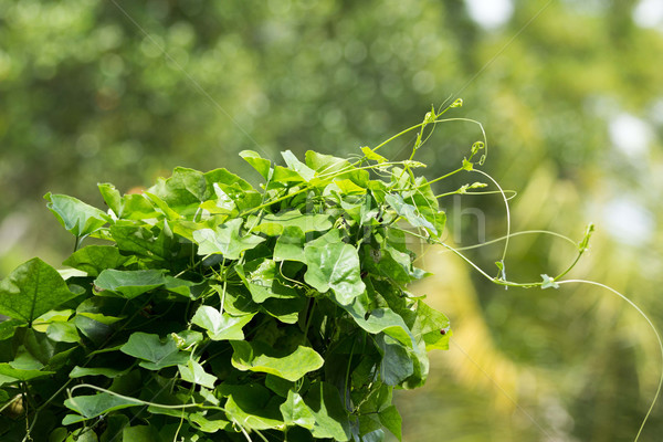 ivy gourd vegetables. Stock photo © muang_satun