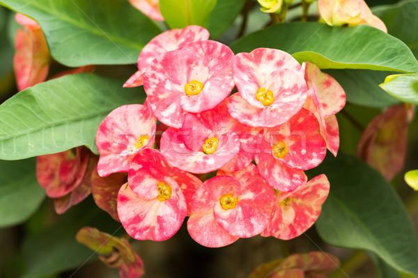 корона Христа шип цветы весны саду Сток-фото © muang_satun