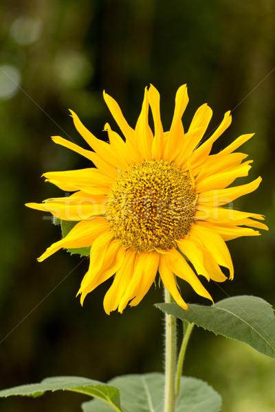 Ayçiçeği güzel alan çiçek doğa ışık Stok fotoğraf © muang_satun