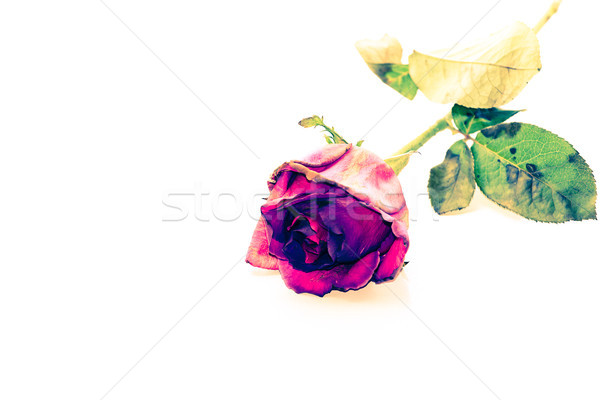 Vintage Red roses Stock photo © muang_satun
