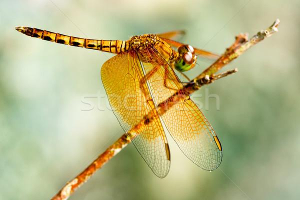Yusufçuk altın yaz yeşil uçmak hayvan Stok fotoğraf © muang_satun