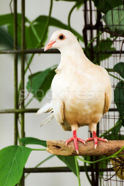 Beyaz güvercin kahverengi eğlence portre Stok fotoğraf © muang_satun