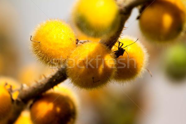 Solanum, Bolo Maka  Stock photo © muang_satun