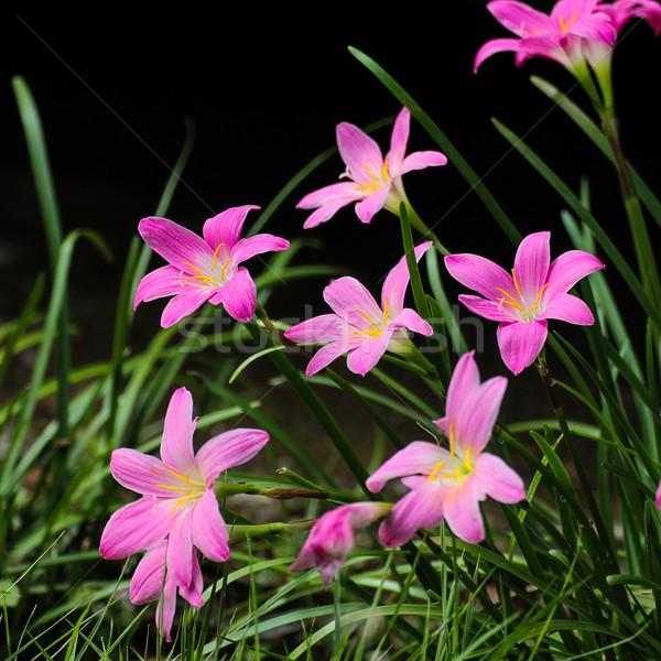 Pembe zambak yağmur peri küçük çiçek Stok fotoğraf © muang_satun