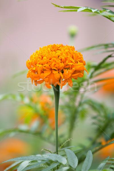 Güzel çiçek gökyüzü kış doğa bahçe Stok fotoğraf © muang_satun