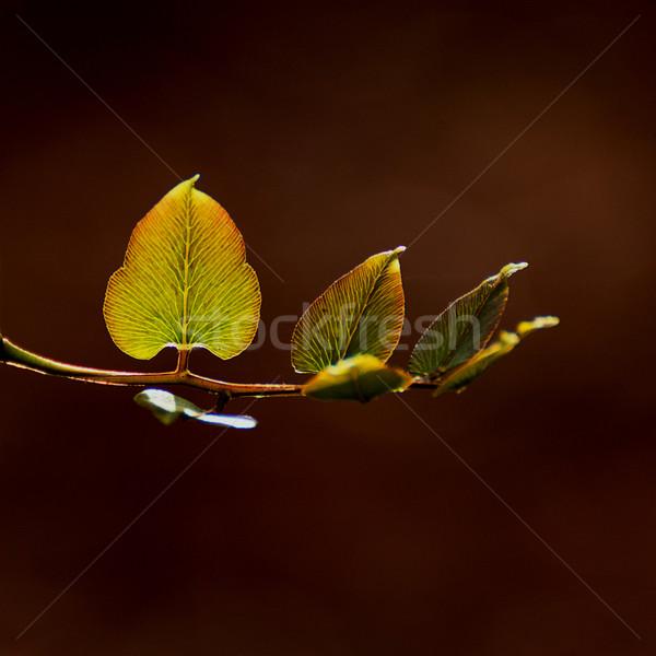 Yaprakları yeşil yaprakları arka plan bitki Stok fotoğraf © muang_satun