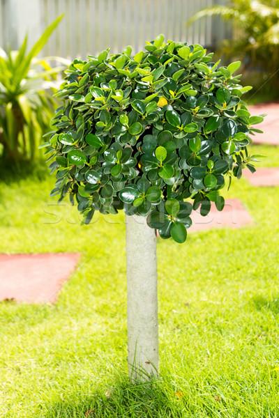 Cüce ağaç bahçe doğa yaprak güzellik Stok fotoğraf © muang_satun