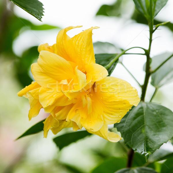 Hibiszkusz virág citromsárga fák levelek növények Stock fotó © muang_satun