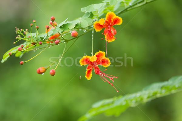 Flowers.  Stock photo © muang_satun