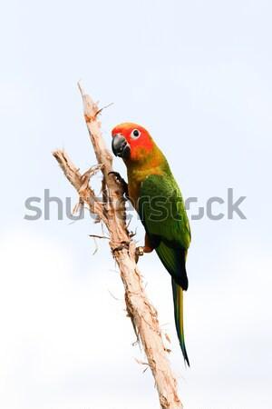 Bird,Sun conure parrot ,pet Stock photo © muang_satun