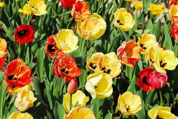Tulpen bed Rood Geel blad achtergrond Stockfoto © Musat