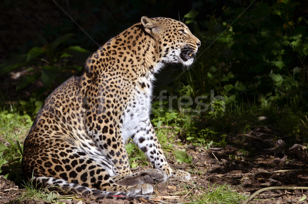 Luipaard vergadering profiel grond gras natuur Stockfoto © Musat