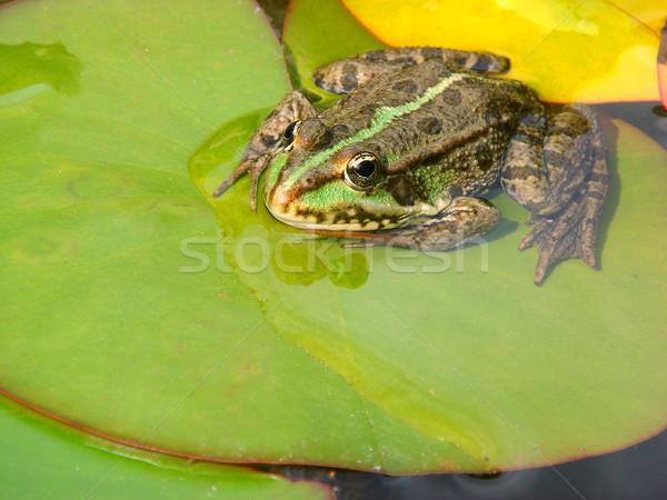 Yenilebilir kurbağa su zambak yaprak Stok fotoğraf © Musat
