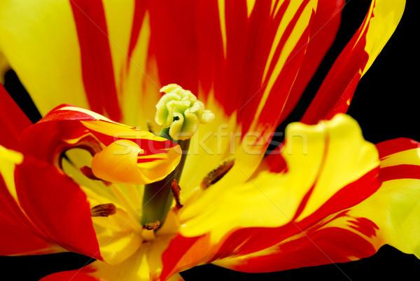 Kalp lâle kırmızı sarı doğa bitki Stok fotoğraf © Musat