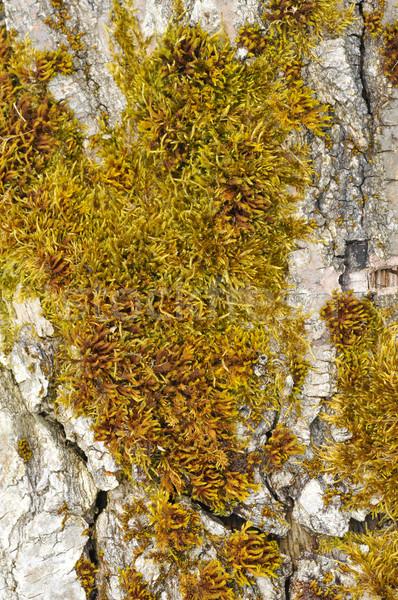 Mech drzewo tle warzyw żółty kory Zdjęcia stock © Musat