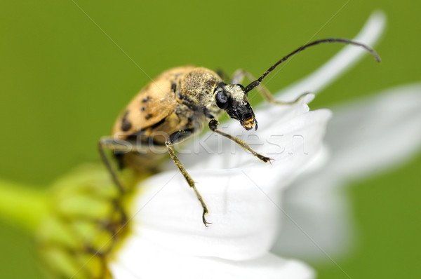 Longhorn beetle on daisy Stock photo © Musat