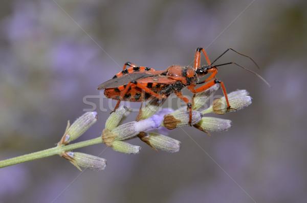 Katil böcek lavanta makro siyah kırmızı Stok fotoğraf © Musat